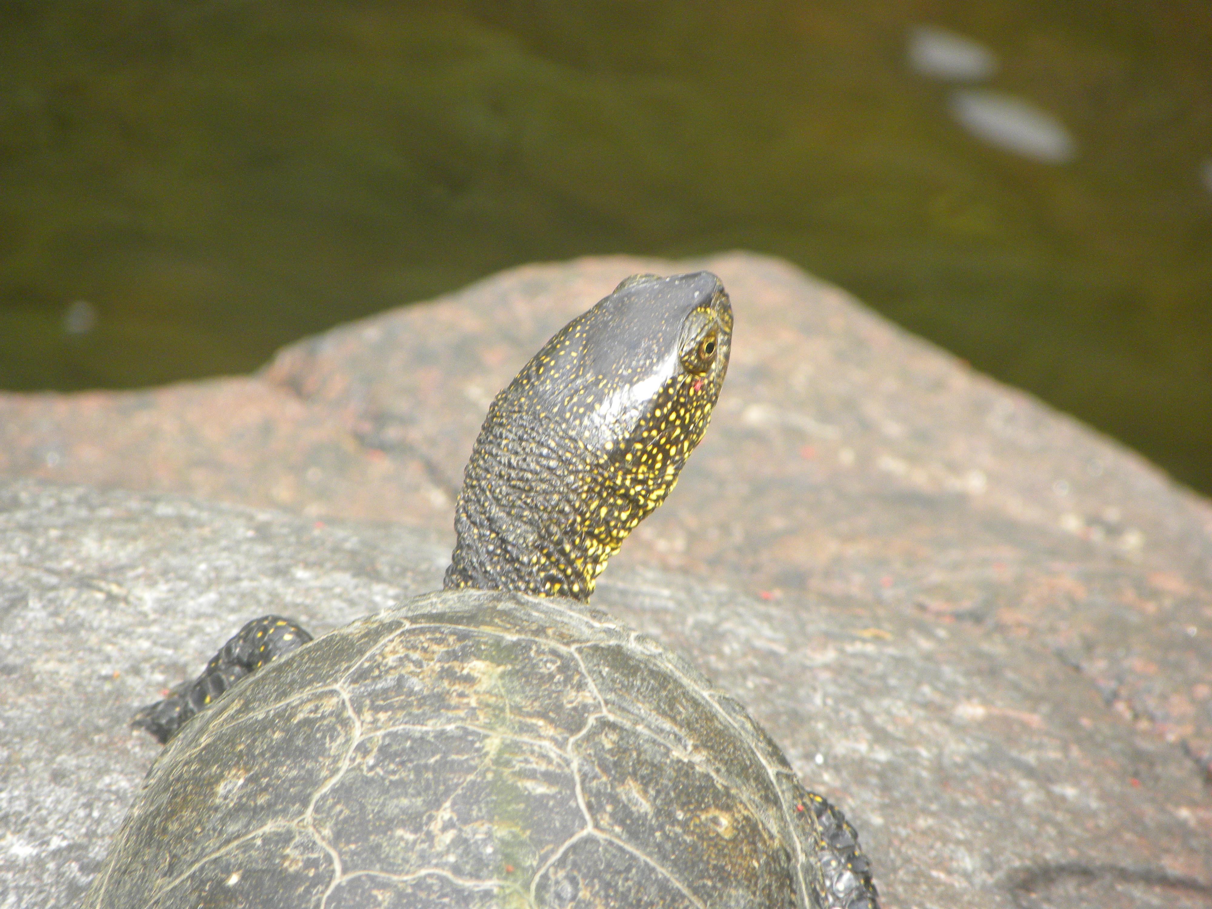 La tartaruga d acqua l 39 altra bosa for Tartaruga di palude