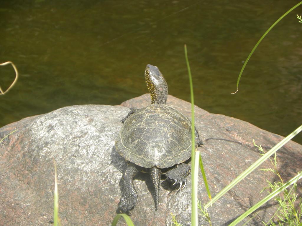 tartaruga d acqua dolce l 39 altra bosa